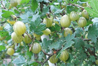 Крыжовник колобок: описание и характеристики сорта, посадка и уход, применение ягод
