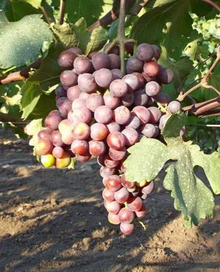 Виноград «красотка»: гибридный сорт с отличным вкусом