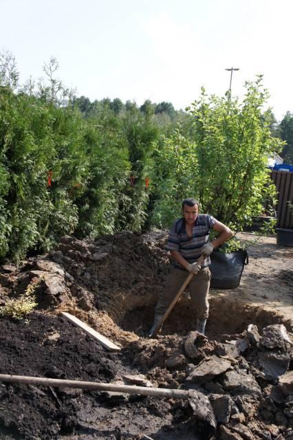 Как пересадить взрослое дерево — советы опытных садоводов