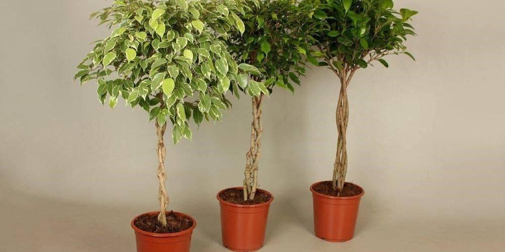 Фикус наташа: фото, уход в домашних условиях, почему желтеют и опадают листья, как сформировать ствол