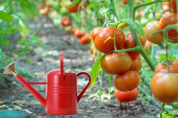 Как поливать помидоры в открытом грунте: правила и периодичность, фото и видео