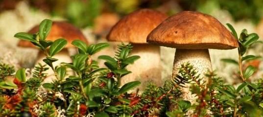 Грибы самарской области 2021: когда и где собирать, сезоны и грибные места