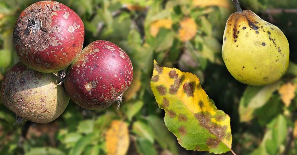 Парша на яблоне - как бороться летом: обработка и лечение