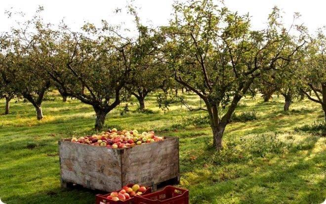 Осенний уход, или как подготовить яблоню к зиме