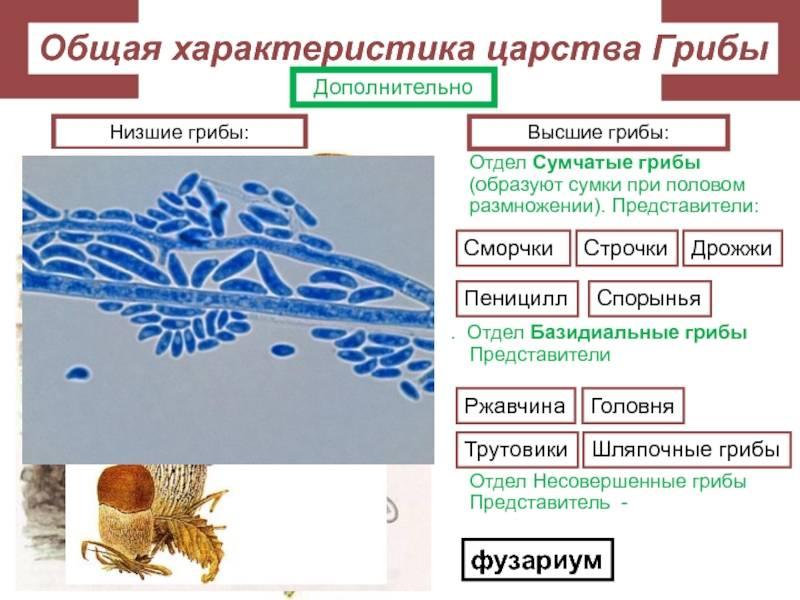 Совершенные и несовершенные грибы
