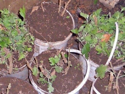 Как можно сохранить хризантемы зимой в подвале?