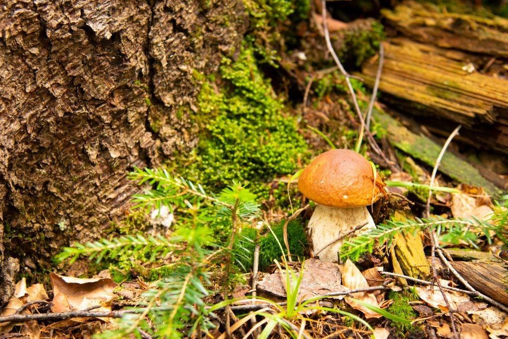 Гриб боровик (белый гриб): особенности и способы выращивания