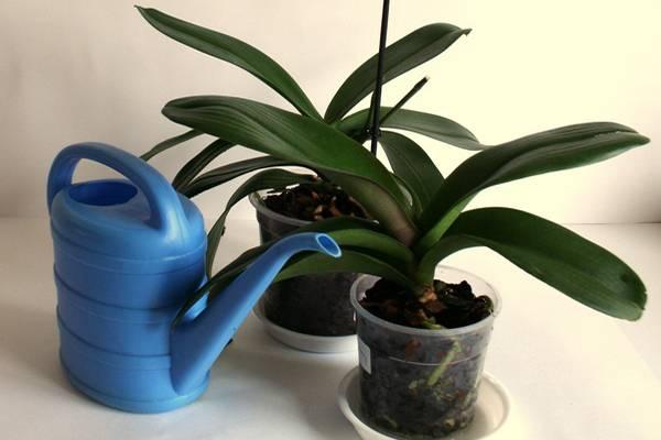 Можно ли поливать орхидею сверху: обычной водой, кипяченой, теплым душем или горячим, перекисью водорода, касторовым маслом, вечером и какие разные способы полива существуют, видео от специалистов