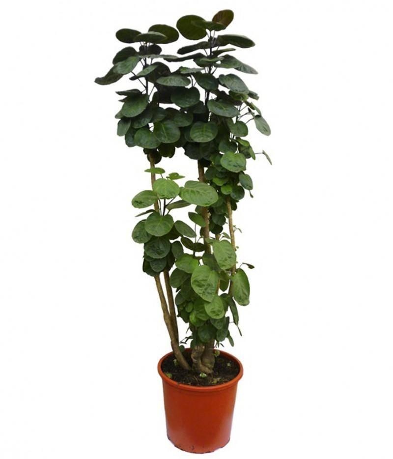 Полисциас (32 фото): уход в домашних условиях, описание видов и сортов «фабиан» и кустарниковый, туполистный и «пиноккио». почему полисциас сбрасывает зеленые листья?