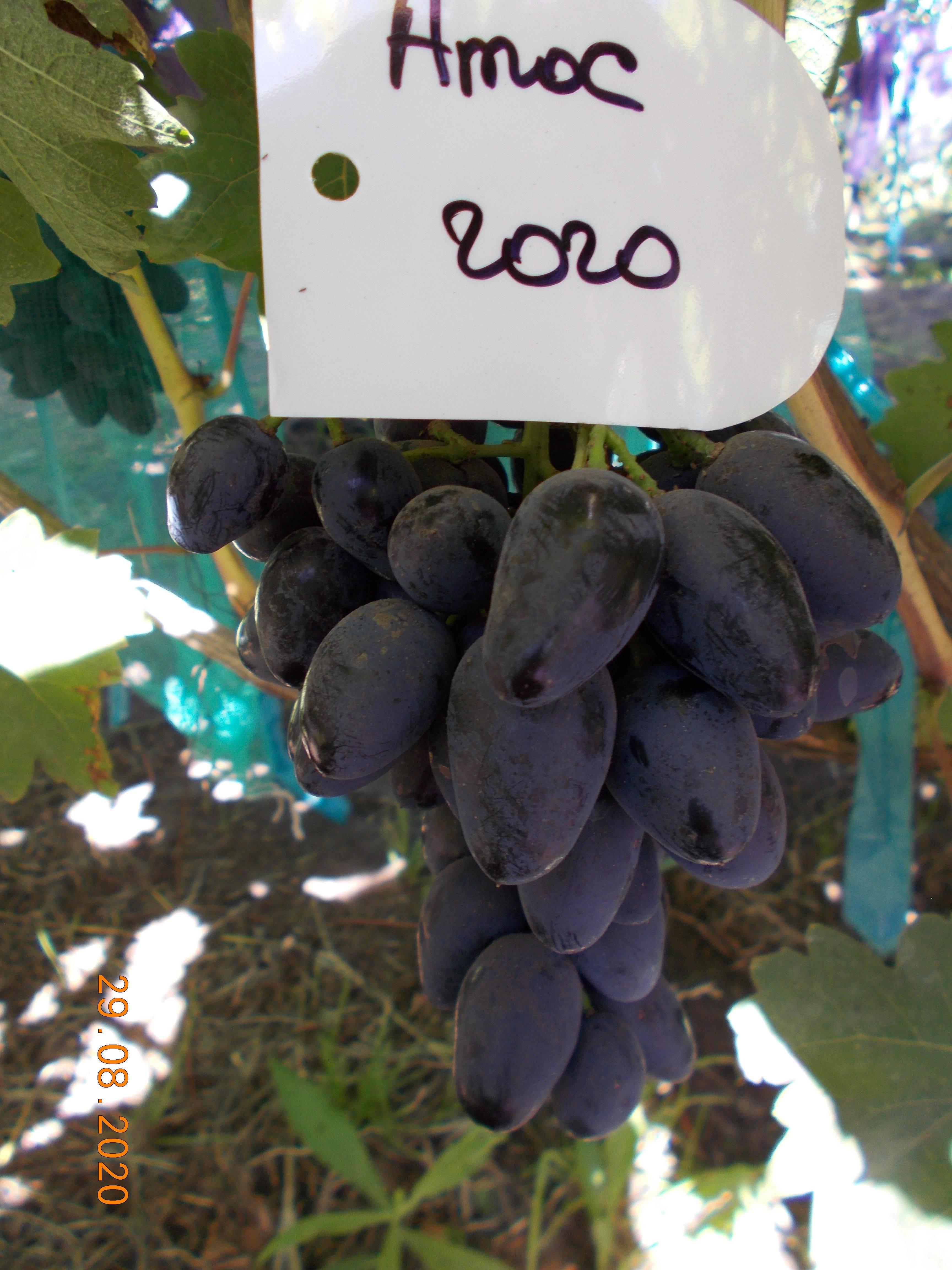 Высокопродуктивный, мобильный и устойчивый — виноград «атос»