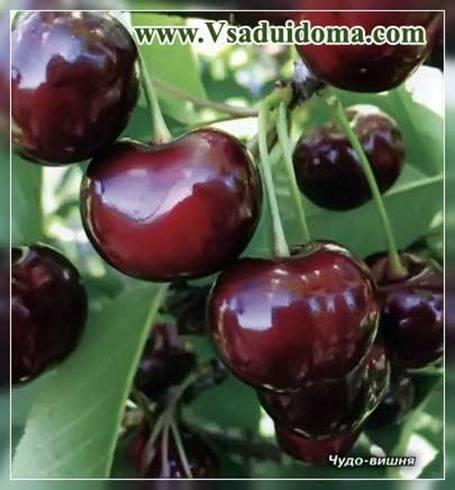 Урожайный сорт вишни чудо
