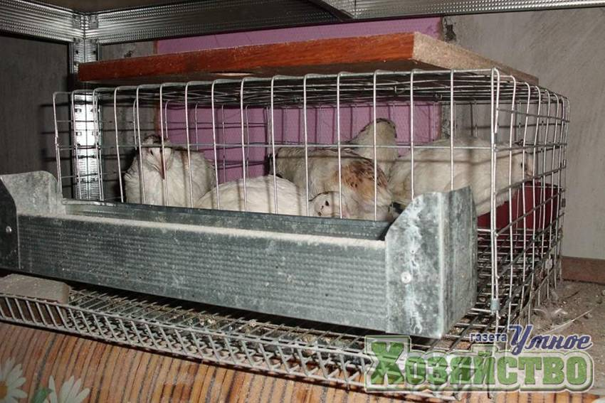 Разведение перепелов в домашних условиях для начинающих