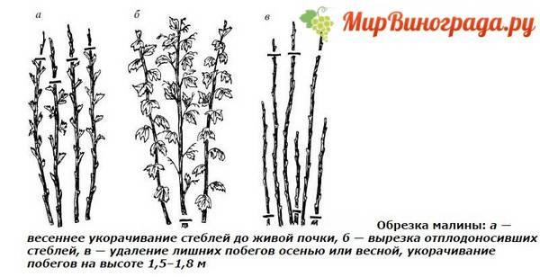 Обрезка малины: зачем нужно обрезать растение, когда надо делать процедуру - в весеннем, летнем и осеннем сезоне, как правильно выглядят схемы обрезки с фото?