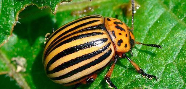 Колорадский жук: средство, борьба, народные и химические методы защищающие от вредителя, как поможет хозяйственное мыло, полынь