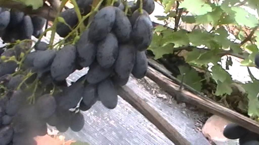 Виноград блэк гранд: описание сорта, фото — selok.info