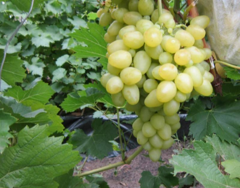 Секреты выращивания столового сорта винограда кардинал
