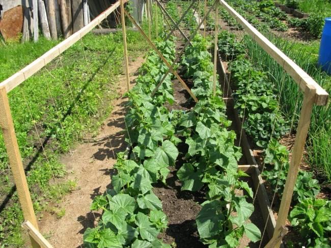 Огурцы на подоконнике – выращивание от а до я: посадка и уход – 4 сезона огородника