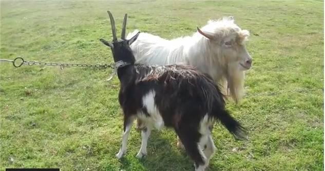 Домашние животные коза и овца