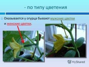 Цветы огурцов