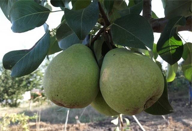 Описание сорта груши сокровище: фото и отзывы, урожайность