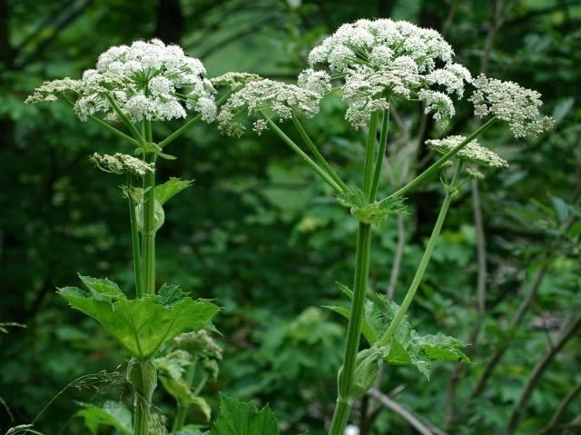 Борщевик: растение-паразит – как бороться, фото