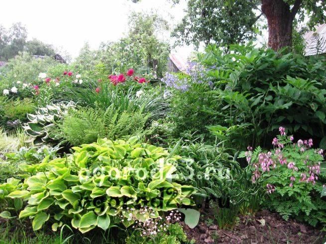 Как пересаживать хосты весной и осенью: размножение делением куста
