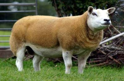 Порода овец суффолк: описание и характеристика