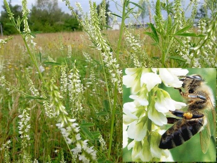 Медоносы многолетники для пчел: медоносные деревья, кустарники