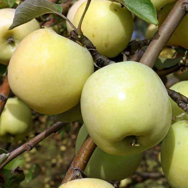 Яблоня поспех: особенности сорта и ухода