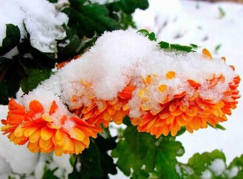 Как сохранить хризантемы зимой в саду. способы хранения   дачная жизнь