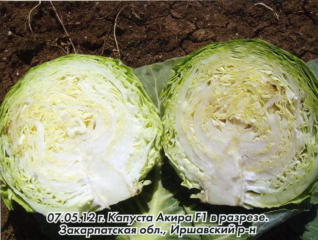 Характеристика капусты сорта тиара f1