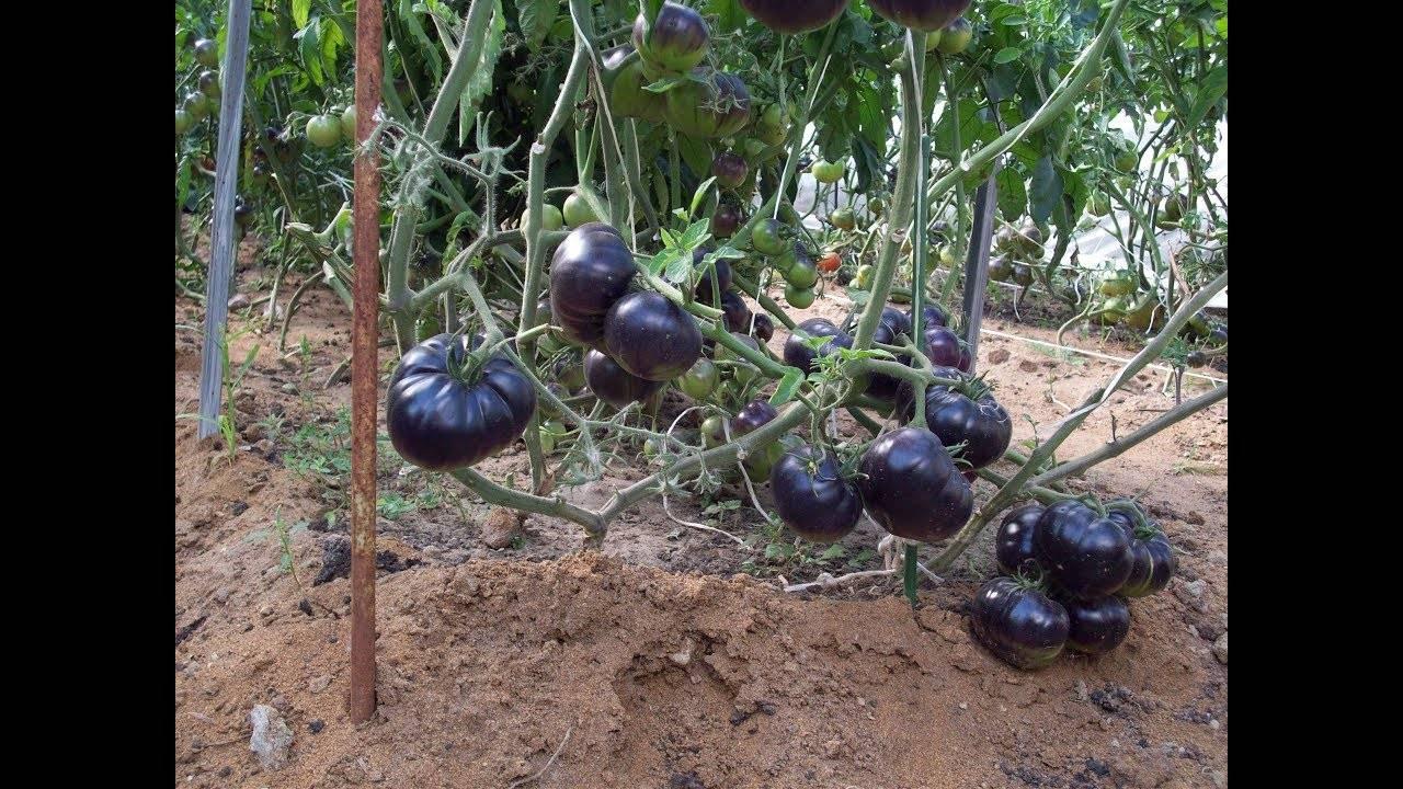 Томат «алый мустанг»: описание сорта и фото, характеристики плодов-помидоров и рекомендации по выращиванию