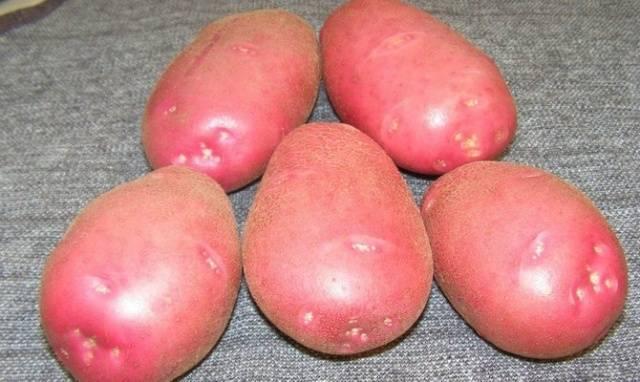 Картофель белые росы описание сорта фото отзывы