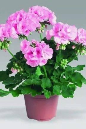 Пересадка комнатной герани до и во время цветения: состав грунта, подбор горшка