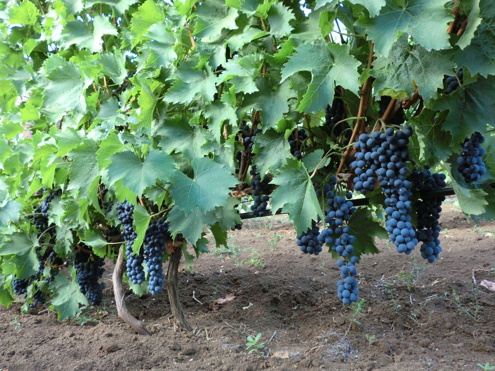 Виноделам от «магарача»: сорт винограда ливадийский чёрный
