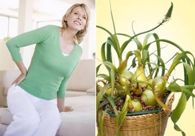 Китайский лук: лечебные свойства и противопоказания, выращивание в домашних условиях