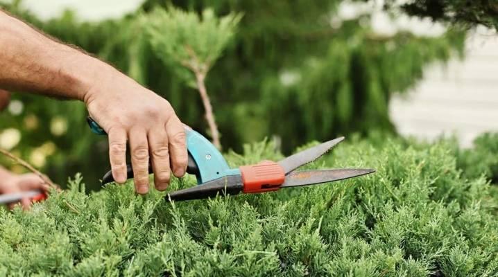 Можжевельник: особенности выращивание, сроки посадки, размножение и уход