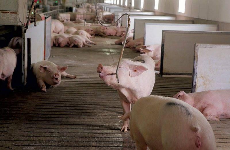 Как правильно построить сарай для свиней своими руками в домашних условиях без больших затрат: чертежи и фото как правильно построить сарай для свиней своими руками в домашних условиях без больших затрат: чертежи и фото