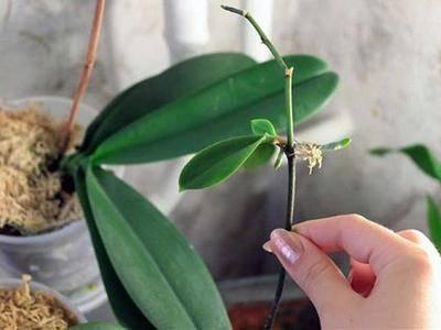 Как вырастить орхидею из корешка и можно ли таким способом размножить растение?