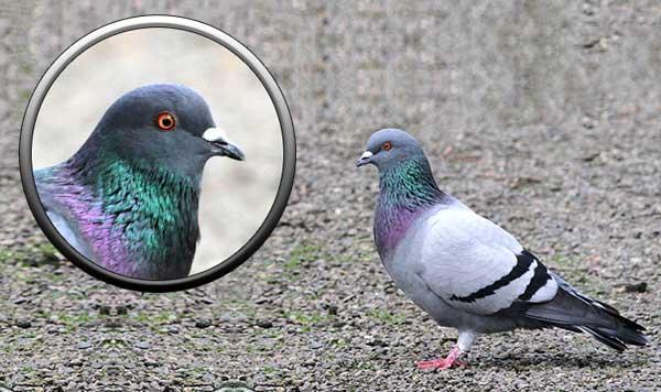 Сизый голубь(сизарь)описание,фото,ареал обитания