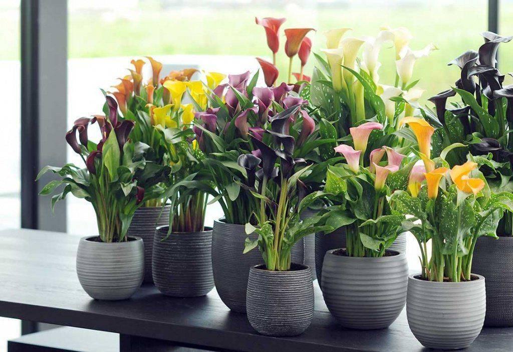 Почему каллы цветы смерти? белые каллы: выращивание в домашних условиях