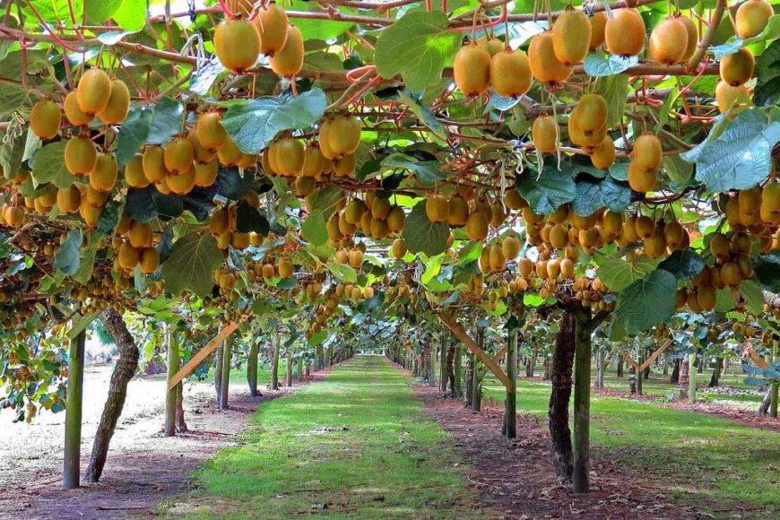 Киви или актинидия. выращивание и плодоношение дома. | floplants. о комнатных растениях