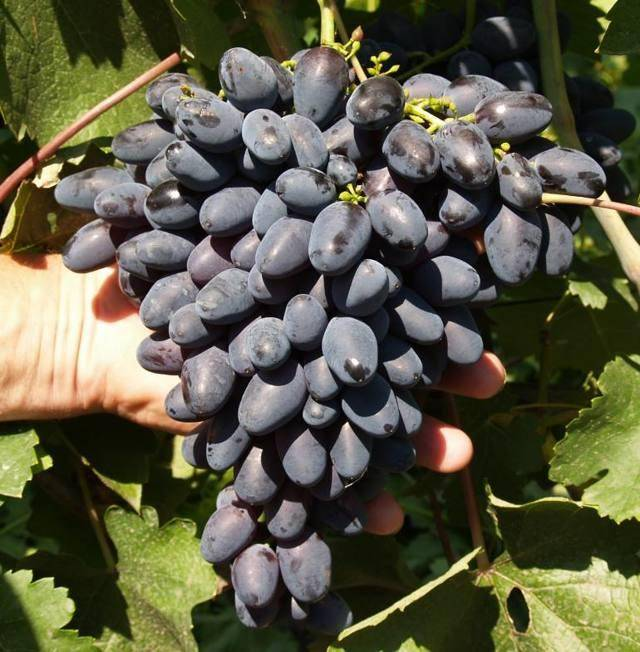 Виноград руслан: описание характеристики, фото, видео и отзывы