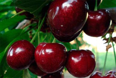 Опылители черешня бычье сердце описание сорта