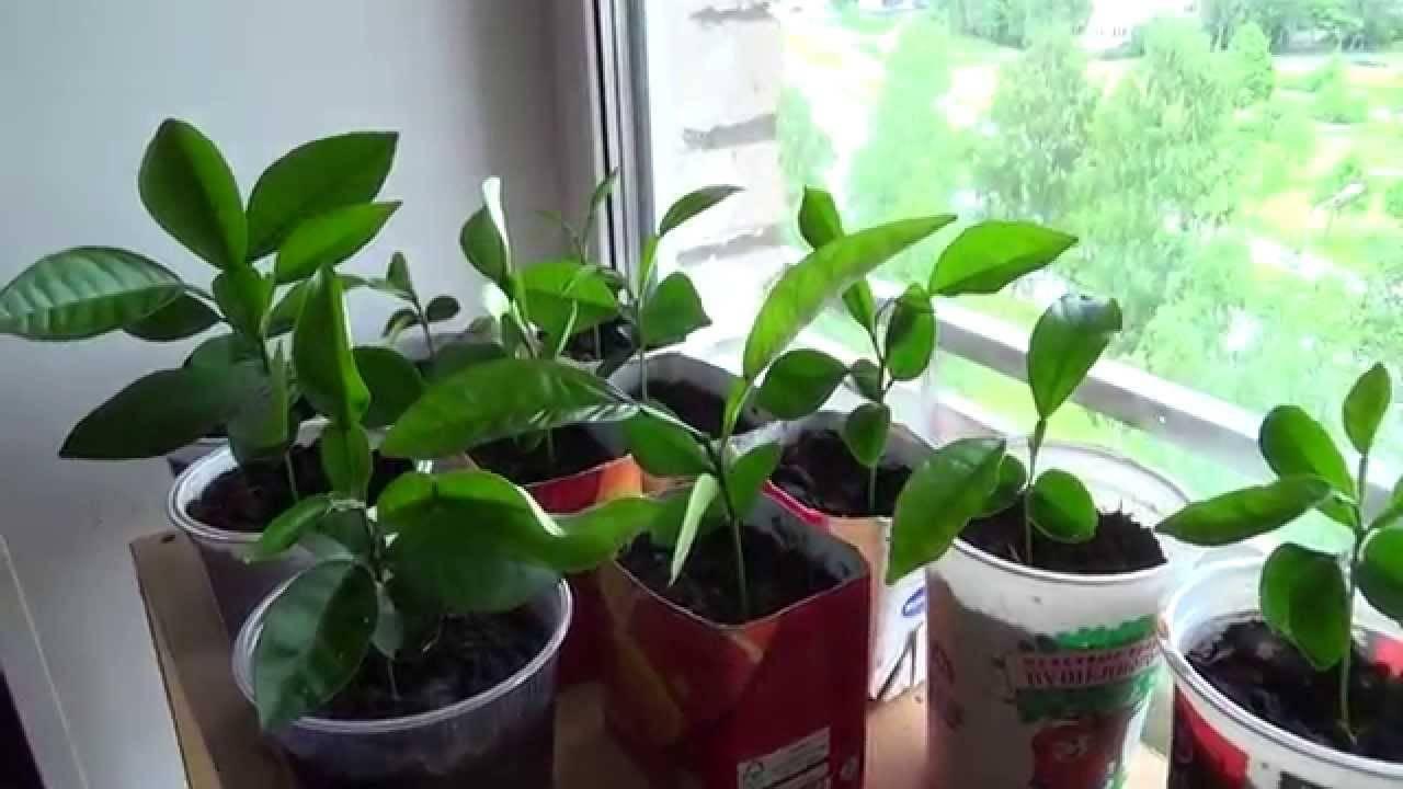 Помело (дерево): выращивание из косточки, в домашних условиях, росток в горшке помело (дерево): выращивание из косточки, в домашних условиях, росток в горшке