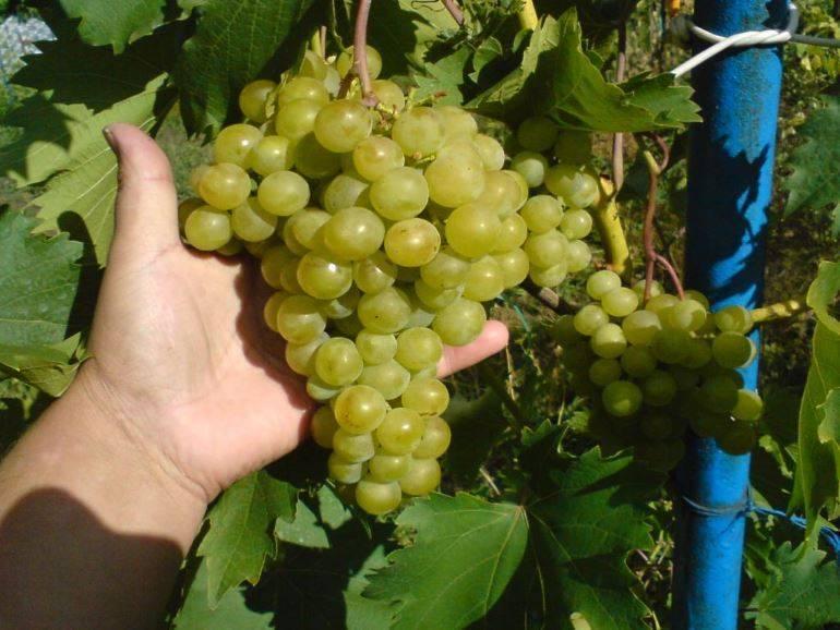 Виноград «дружба»: особенности сорта, уход и выращивание, отзывы и фото