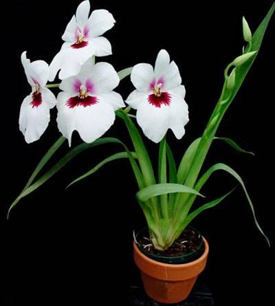 Выращивание орхидеи мильтония: размножение, пересадка, реанимация, цветение