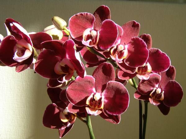 Самые редкие орхидеи мира - my orchids