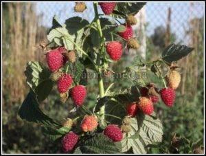 Особенности выращивания малины Атлант с отзывами садоводов