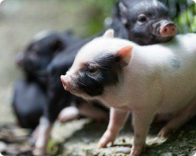 Сколько живут свиньи в хозяйстве и как узнать возраст